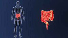 Bourdonnement d'intestin avec l'anatomie illustration libre de droits