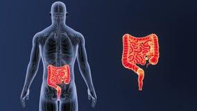 Bourdonnement d'intestin avec l'anatomie illustration stock