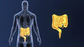 Bourdonnement d'intestin avec l'anatomie illustration de vecteur