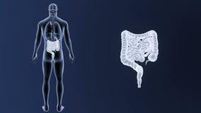Bourdonnement d'intestin avec le corps d'organes illustration libre de droits