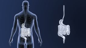 Bourdonnement humain d'estomac et d'intestin avec l'appareil circulatoire clips vidéos