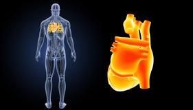 Bourdonnement humain de coeur avec la vue de postérieur d'anatomie photos libres de droits