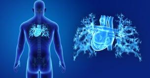 Bourdonnement humain de coeur avec la vue postérieure squelettique illustration de vecteur