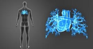 Bourdonnement humain de coeur avec la vue postérieure squelettique illustration libre de droits
