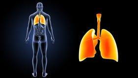 Bourdonnement humain de poumons avec la vue de postérieur d'organes photographie stock libre de droits