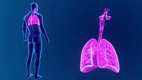 Bourdonnement humain de poumons avec le corps clips vidéos