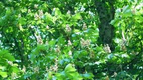 Bourdonnement : Plan rapproché d'arbre de marron d'Inde, hippocastanum d'Aesculus clips vidéos