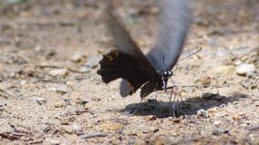 Bourdonnent dedans le papillon mangeant en nature, lumière du jour 2 agrafes banque de vidéos