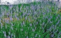 Bourdons dans le buisson de floraison de lavande Image stock