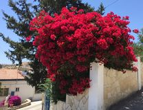 Bourganvilia in Cyprus. On a Segway trip 2017 b Royalty Free Stock Image