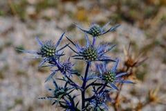 Bourgatii do Eryngium do azevinho de mar Mediterrâneo Imagem de Stock