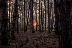 Bourgeois forest. Sunset in a pine forest with a beautiful carpet of cones and needles Royalty Free Stock Photos