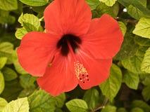 Bourgeon avec la fleur rouge photographie stock
