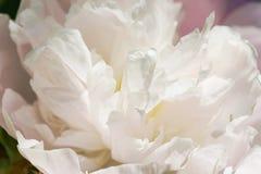 Bourgeon blanc de pivoine Photographie stock