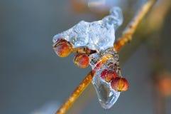 bourgeon congelé Photos libres de droits