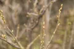 Bourgeon d'arbre au premier ressort Images stock