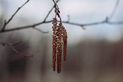 Bourgeon d'arbre de bouleau de Brown sur le plan rapproché gris de fond Bourgeons des arbres au printemps photos stock