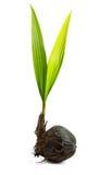 Bourgeon d'arbre de noix de coco Photo libre de droits