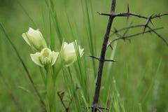 Bourgeon d'orchidée de papillon Photos libres de droits