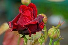 Bourgeon d'une belle rose de rouge dans les baisses de la rosée Photos stock