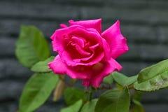 Bourgeon d'une rose rouge de floraison images stock