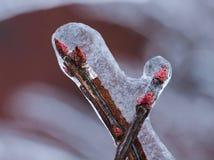 Bourgeon d'usine couvert par glace de plan rapproché après tempête de pluie verglaçante ; macro Image stock