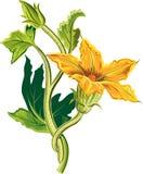 Bourgeon d'usine de potiron, avec une fleur ouverte illustration stock