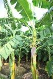 Bourgeon de banane photos libres de droits