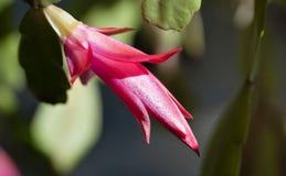 Bourgeon de cactus de Noël de floraison images libres de droits