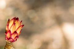 Bourgeon de cierge de floraison de nuit Images stock
