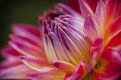 Bourgeon de dahlia étant prêt pour fleurir Image stock