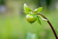 Bourgeon de fleur de dahlia Photos stock