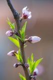 Bourgeon de fleur de prune Photos libres de droits