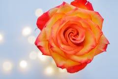 Bourgeon de floraison d'une rose jaune-rouge sur un fond bleu image libre de droits