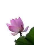 Bourgeon de lotus photo stock