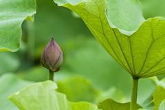 Bourgeon de Lotus Photos stock