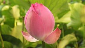 Bourgeon de lotus clips vidéos
