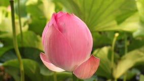 Bourgeon de lotus banque de vidéos
