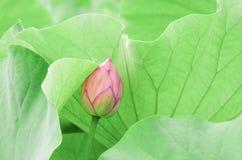 Bourgeon de lotus Image stock