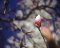 Bourgeon de magnolia. Images stock