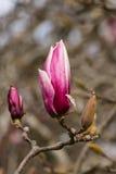 Bourgeon de magnolia Image stock