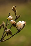 Bourgeon de magnolia et une abeille Images libres de droits