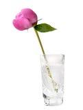 Bourgeon de pivoine, fleur de pivoine avec le chemin de découpage Photos stock