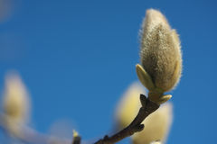 Bourgeon de quinquepeta de magnolia ou de liliiflora de magnolia Photos stock