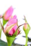 Bourgeon de Rose Photo libre de droits