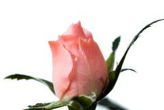 Bourgeon de Rose Photos libres de droits