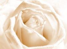 Bourgeon de Rose avec des baisses de l'eau images stock