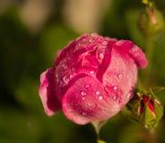 Bourgeon de Rose avec des baisses de duw image libre de droits