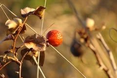 Bourgeon de Rose et feuilles sèches image stock