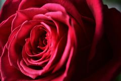 Bourgeon de rose marron foncée au foyer images stock